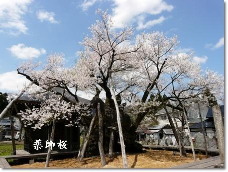 yakusizakura.jpg